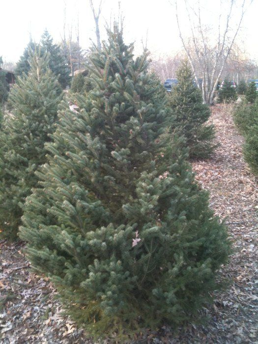 Charlie Brown's Christmas Tree Farm