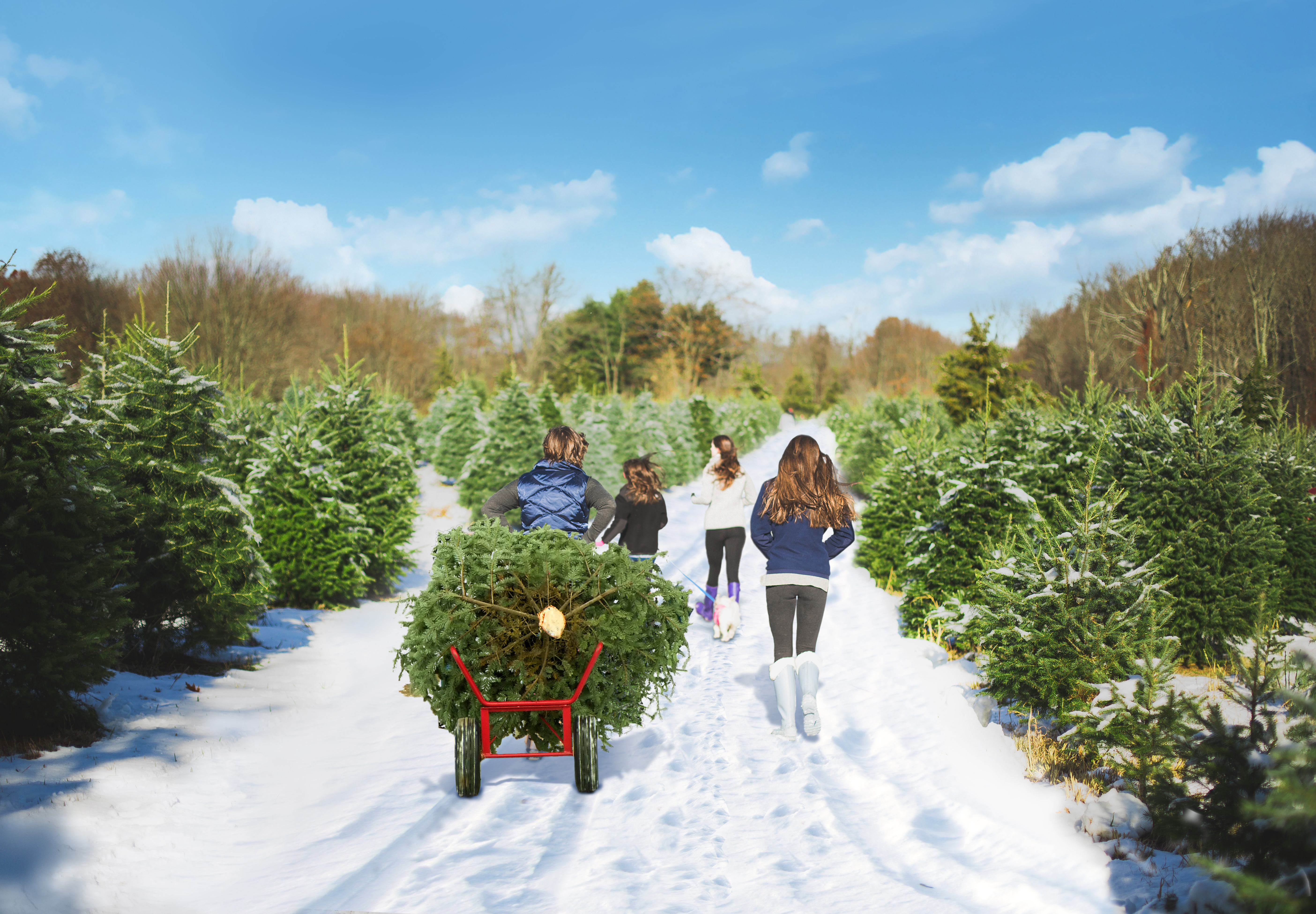 Christmas Tree Farm Photos.Pick Your Own Christmas Trees In Ct Visit Ct