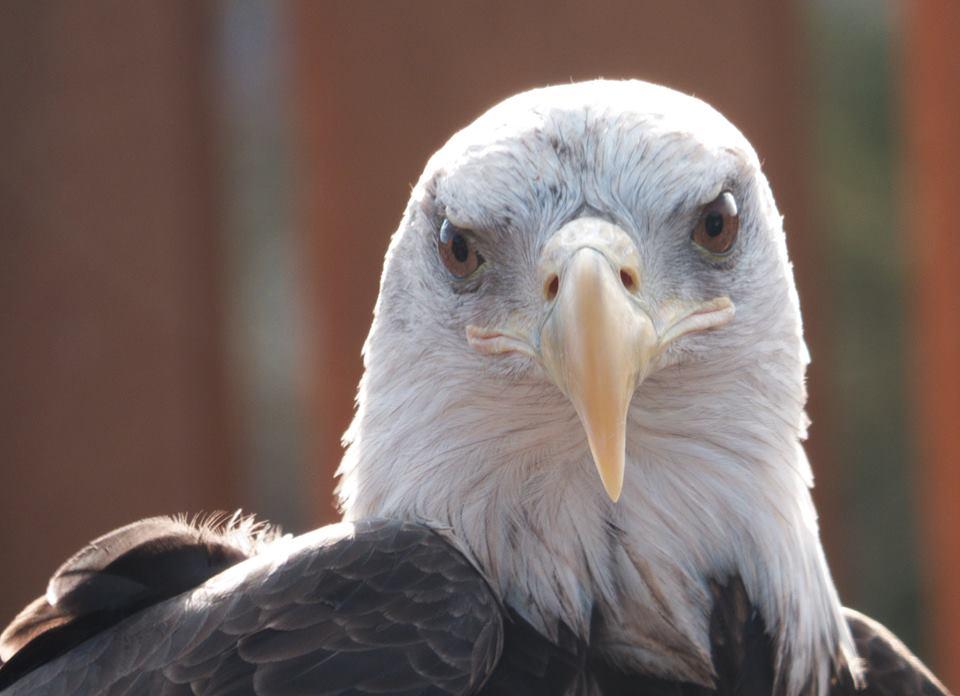 Bald Eagle Viewing Visit Ct